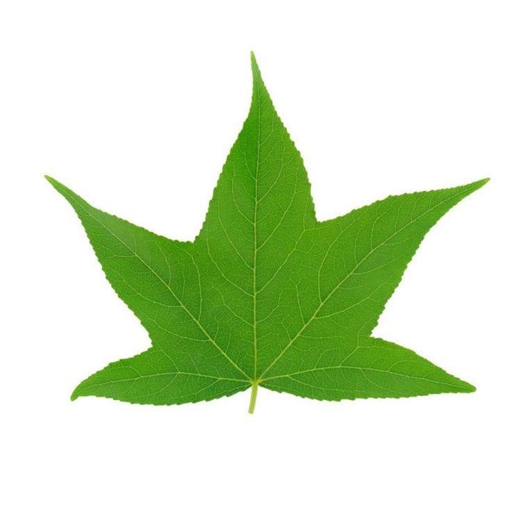 green leaf detail veins